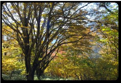 紅葉のブナの森